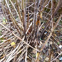 Dry winter canes Japanese knotweed